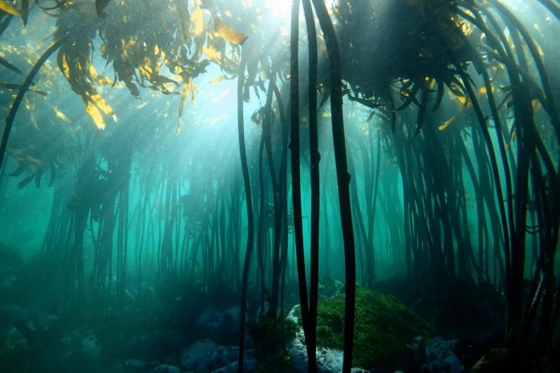 podwodny las ośmiornica
